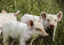 Organic piglets. Organic small piglets looking courious royalty free stock photos