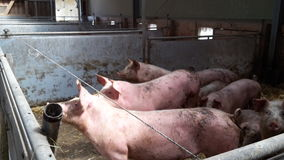 Organic pigs Stock Image
