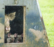 Organic pigs Stock Images