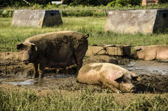 Organic pigs Royalty Free Stock Photo