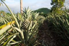 Organic pineapple garden and mountains stock image