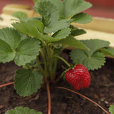 Organic plant and fruit of strawberry Stock Images