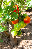 Organic plants tomatoes. Organic red and green tomatoes in garden Stock Photos