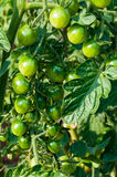 Organic plants tomatoes. Organic green tomatoes in garden Stock Images