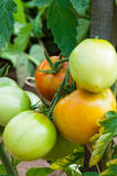 Organic plants tomatoes. Organic red and green tomatoes in garden Royalty Free Stock Image