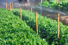 Organic plat being watered Royalty Free Stock Photography