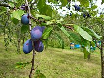 Organic plums and beehives - healthy and  tasty food Royalty Free Stock Photo