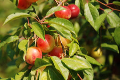 Organic  plums on a branch Royalty Free Stock Images