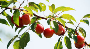 Organic plums on a branch. Pic of organic plums on a branch Stock Image
