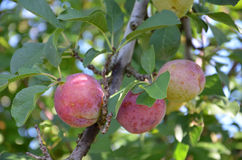 Organic plums on a branch Stock Photo