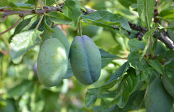 Organic plums on a branch Stock Images