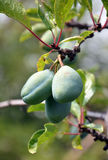 Organic plums on a branch Royalty Free Stock Photos