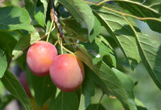 Organic plums on a branch Stock Photography