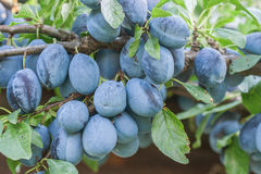 Organic plums Stock Photo