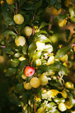 Organic plums on a tree, green. A branch full of organic plums on a tree, green Stock Photo