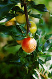 Organic plums on a tree, green. A branch full of organic plums on a tree, green Royalty Free Stock Image