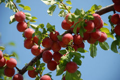 Organic plums on a tree Royalty Free Stock Photo