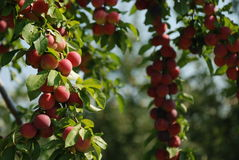 Organic plums on a tree Royalty Free Stock Photos