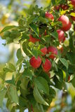 Organic plums on a tree Stock Photography