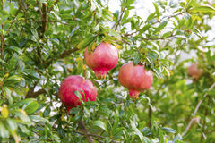 Organic pomegranate tree Royalty Free Stock Images