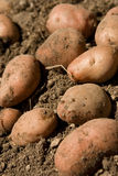Organic potato Stock Photos