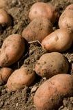 Organic potato. Digging organic potatoes from ground Stock Photos