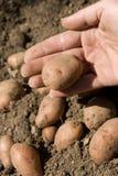 Organic potato. Digging organic potatoes from ground Stock Photo