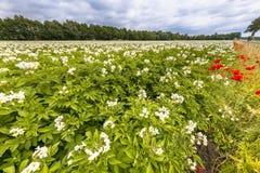 Organic potato field Netherlands Stock Images