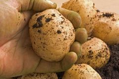 Organic potatoe. Hand holding organic fresh potatoe Royalty Free Stock Photo