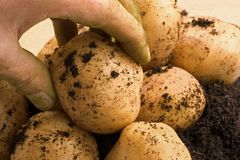 Organic potatoe. Fingers holding organic fresh potatoe Royalty Free Stock Image
