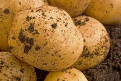 Organic potatoe. Organic freshly cultivated unwashed potatoe Stock Photos
