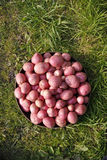 Organic potatoes. Allotment grown organic potatoes on grass royalty free stock photo