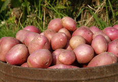 Organic potatoes. Allotment grown organic potatoes in a metal container stock images