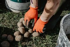 Organic potatoes being prepared for planting in the field in spr. Ing. Organic farming Royalty Free Stock Photos