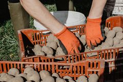 Organic potatoes being prepared for planting in the field in spr. Ing on sunny day. Organic farming Royalty Free Stock Photography
