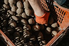 Organic potatoes in a box being prepared for planting in the fie. Ld in spring on sunny day. Organic farming Royalty Free Stock Photos