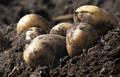 Organic potatoes Stock Photo