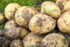 Organic potatoes on a field Stock Images