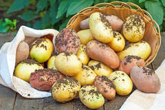 Organic potatoes Royalty Free Stock Photos