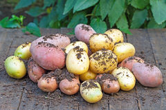 Organic potatoes Stock Image