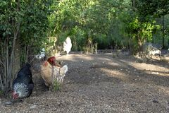 Organic poultry farming : healthy chicken walking outdoors looking for food. Healthy Chicken walking outdoors : birds in Free Range Poultry Farm with green royalty free stock images