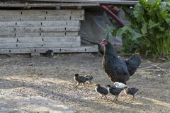 Healthy Chicken walking outdoors : birds in Free Range Poultry Farm with green background. Organic poultry farming : healthy chicken walking outdoors looking for stock photos