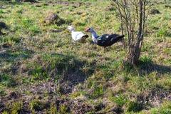 Organic poultry: muscovy ducks. Rural landscape. Farming, agriculture. Organic poultry: muscovy ducks. Rural landscape. Farming royalty free stock images