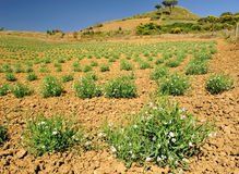 Organic production of chickling. The photograph shows a field with plants of L. sativus, legume used in sicily to produce flour polenta Stock Photos