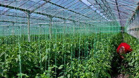 Organic production of vegetables in greenhouse stock footage