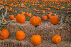 Organic pumpin farm. Organic pumpkins on display waiting to be picked for Halloween carving or pumpkin pies Royalty Free Stock Photography