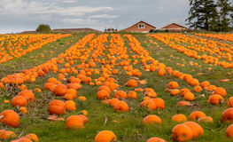Organic pumpin farm. Organic pumpkins on display waiting to be picked for Halloween carving or pumpkin pies Royalty Free Stock Images