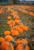 Organic pumpin farm. Organic pumpkins on display waiting to be picked for Halloween carving or pumpkin pies Stock Photo