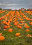Organic pumpin farm. Organic pumpkins on display waiting to be picked for Halloween carving or pumpkin pies Stock Image