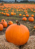 Organic pumpin farm. Organic pumpkins on display waiting to be picked for Halloween carving or pumpkin pies Stock Images